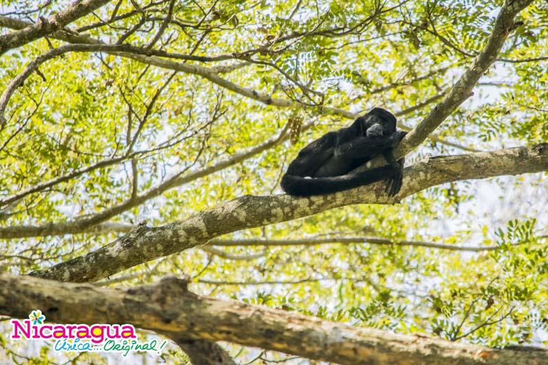 Mono-aullador-descansando-en-el-bosque