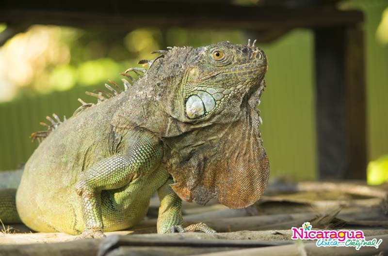 iguanario