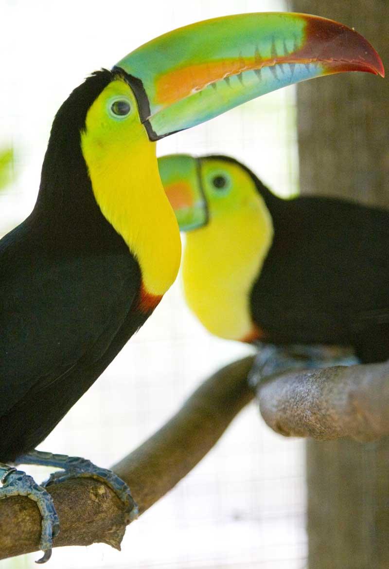 Tucan Aracari