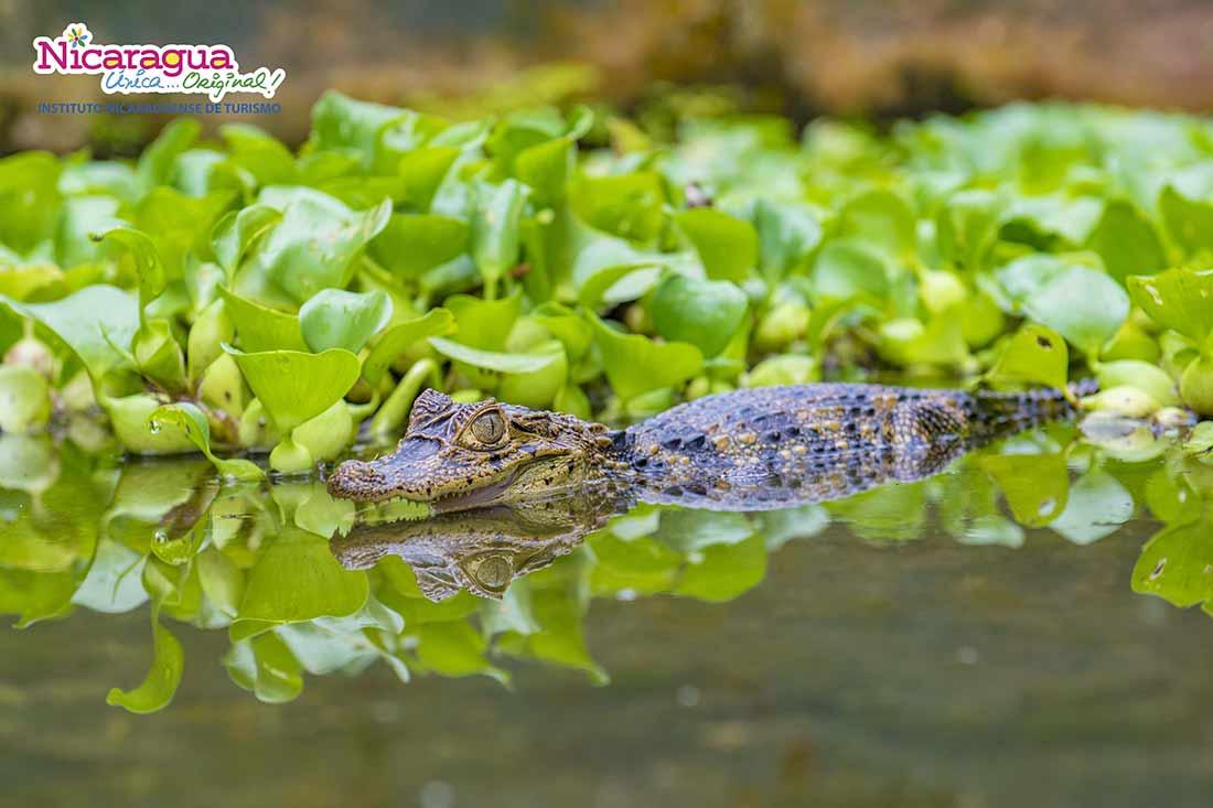 cocodrilo-Rio-san.juan