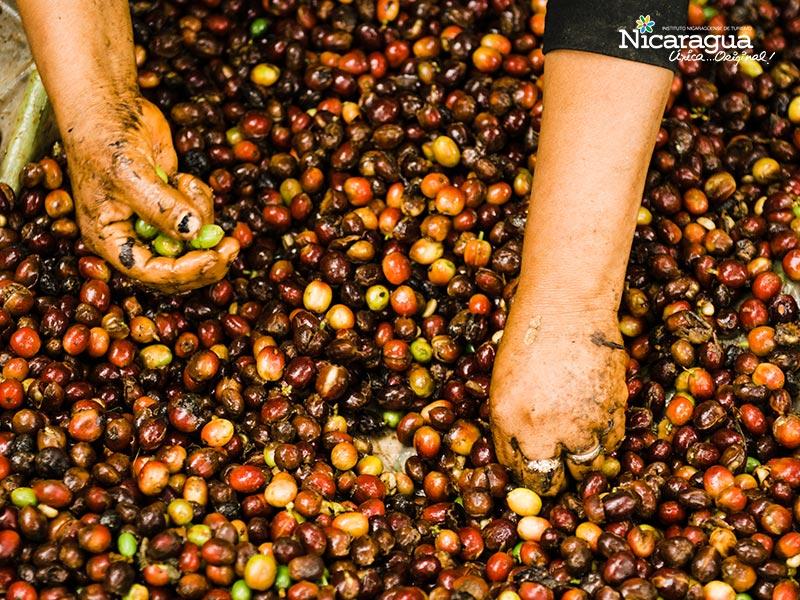 cultivo de Cafe-Matagalpa